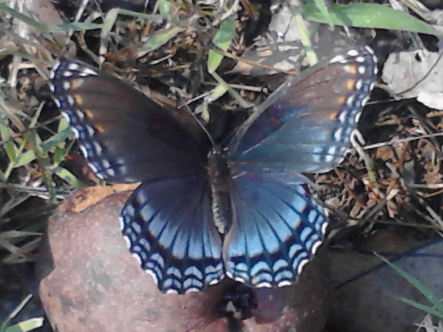 blue butterfly under our pear tree