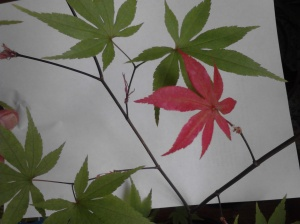 Japanese Maple 2012 Copyright Melanie Arrowood Wilcox